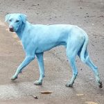 ? Aparecen varios perros azules en la India culpa de la contaminación de los ríos