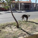 Perro ataca y muerde a dos menores en Meoqui